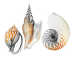 Blended x-ray image of bonnet, conch, and nautilus shells (on white) by Jim Wehtje, specialist in x-ray art and design images.