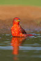 580980043 a wild male summer tanager pitanga rubra bathes in a small pond on the laguna seca ranch in the rio grande valley of south texas