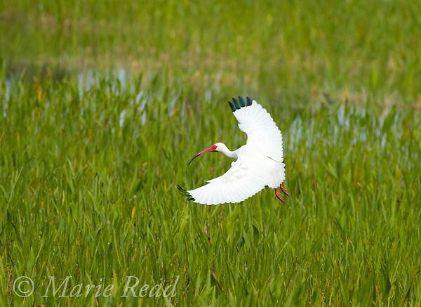 White Ibis (Eudocimus albus) flying in to land, Viera, Florida, USA