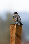 American robin, Fern Hill Wetlands, Oregon