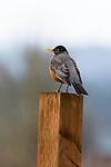 American robin, Fern Hill Wetlands, Oregon