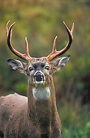 White-tailed deer. .(Odocoileus virginianus)..Autumn. Canada.