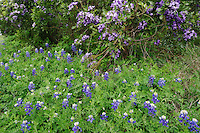Texas Mountain Laurel (Sophora secundiflora) and Texas Bluebonnet (Lupinus texensis), blooming, Comal County, Hill Country, Central Texas, USA