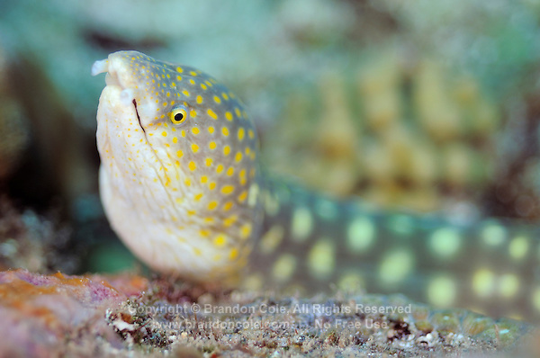 QW714852-D. Sharptail Snake Eel (Myrichthys breviceps). Dominica, Caribbean Sea.<br /> Photo Copyright &copy; Brandon Cole. All rights reserved worldwide.  www.brandoncole.com