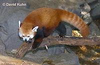 0313-1104  Red Panda, Ailurus fulgens  © David Kuhn/Dwight Kuhn Photography