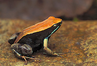 BROWN MANTELLA..Native to central & northern Madagascar. .Captive. (Mantella betsileo).