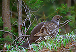 Blue grouse, Yellowstone National Park, Wyoming