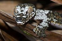 portrait of a madagascar leaf-tailed gecko