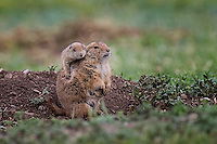 Prairie Dog with young one, San Angelo, TX