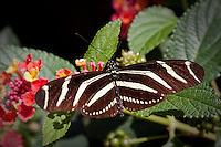 the Zebra Longwing or Zebra Heliconian, is a species of butterfly belonging to the subfamily Heliconiinae of the Nymphalidae. It was declared the official butterfly for the state of Florida in the United States in 1996.<br /> The butterfly ranges over parts of North, Central and South America, as well as the Caribbean. In North America the butterfly is found in the southern parts of the United States including Florida, Georgia, North and South Carolina. In South and Central America, it has been recorded in Mexico, Costa Rica, Panama, Colombia, Ecuador and Venezuela.