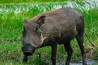 Warthogs, Kwando Concession, Linyanti Marshes, Botswana.