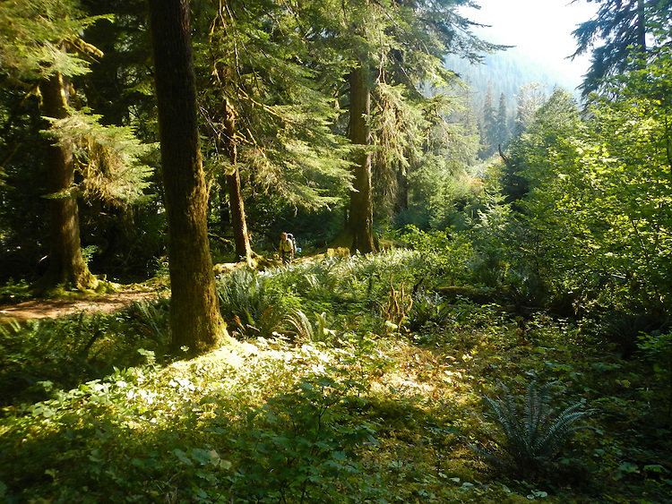 Olympic National Park, hiking, Enchanted Valley, Quinault River, old growth, fir trees, climax forest, Olympic Peninsula, Washington State, Pacific Northwest, United States,