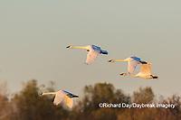 00758-02013 Trumpeter Swans (Cygnus buccinator) in flight Riverlands Migratory Bird Sanctuary St. Charles Co., MO