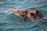 USA, Alaska, Glacier Bay National Park , sea otter (Enhydra lutris)