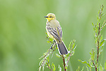 Yellow Wagtail, Motacilla flava, Elmley Marshes, Kent, UK, summer migrant, perched on grass reeds