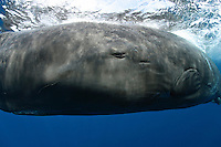 pf0230-D. Sperm Whale (Physeter macrocephalus). eye to eye with a curious giant. Note ear right and below eye. Dominica, Caribbean Sea..Photo Copyright © Brandon Cole. All rights reserved worldwide.  www.brandoncole.com..This photo is NOT free. It is NOT in the public domain. This photo is a Copyrighted Work, registered with the US Copyright Office. .Rights to reproduction of photograph granted only upon payment in full of agreed upon licensing fee. Any use of this photo prior to such payment is an infringement of copyright and punishable by fines up to  $150,000 USD...Brandon Cole.MARINE PHOTOGRAPHY.http://www.brandoncole.com.email: brandoncole@msn.com.4917 N. Boeing Rd..Spokane Valley, WA  99206  USA.tel: 509-535-3489