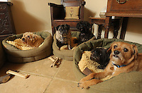 FAO JANET TOMLINSON, DAILY MAIL PICTURE DESK<br /> Pictured: SOme of the dogs spend the night in the owners' house Wednesday 23 November 2016<br /> Re: The Dog House in the village of Talog, Carmarthenshire, Wales, UK