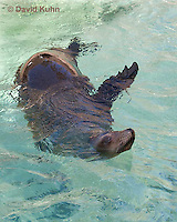 0406-1012  California Sea Lion Swimming, Zalophus californianus  © David Kuhn/Dwight Kuhn Photography.