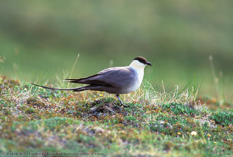Long-tailed jaeger, Denali National Park, Alaska.