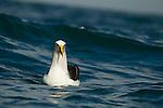 Buller's Albatross (Thalassarche bulleri) on water, Kaikoura, South Island, New Zealand