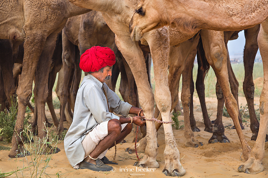 Camel vendor ties the feet of his camels together to stop them wandering too far. Pushkar Camel Fair, Rajasthan, India.