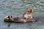 Female and male sea otters