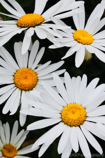 Bright white daisies