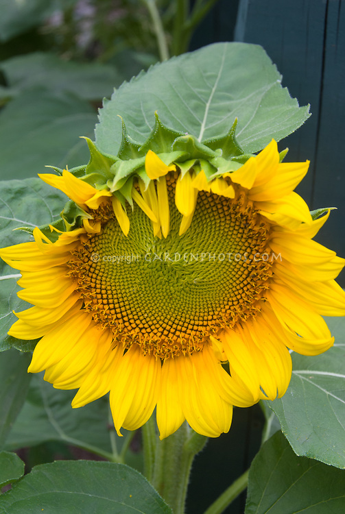 Sunflower Helianthus annuus growing, large flower, plant