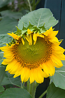 Sunflower Helianthus annuus growing, large flower, plant, grown for seed