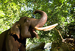 A male Sumatran elephant rears its tusks and trunk with an apparent smile, against its native forest backdrop.