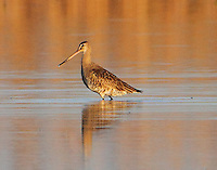 Female Husonian godwit