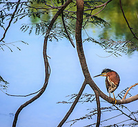 Green Heron, photographed in Puerto Vallarta Mexico. The Green Heron is considered part of the Heron Species of birds. Although it is a good size bird it is considered one of the smaller birds in the Heron family. Fine-Art-Print.