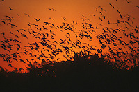 Fauna, animals. Group of birds flying in the sunset, Pantanal Matogrossense, Brazil. Beauty and freedom.