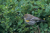 Yellow-rumped Warbler, Dendroica coronata,adult  on clover, Lake Corpus Christi, Texas, USA