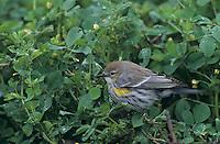Yellow-rumped Warbler, Dendroica coronata,adult  on clover, Lake Corpus Christi, Texas, USA
