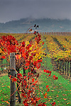 Vineyard in fall, Alexander Valley, near Asti, Sonoma County, CALIFORNIA