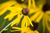Rudbeckia hirta (Black-eyed Susan) flowers.