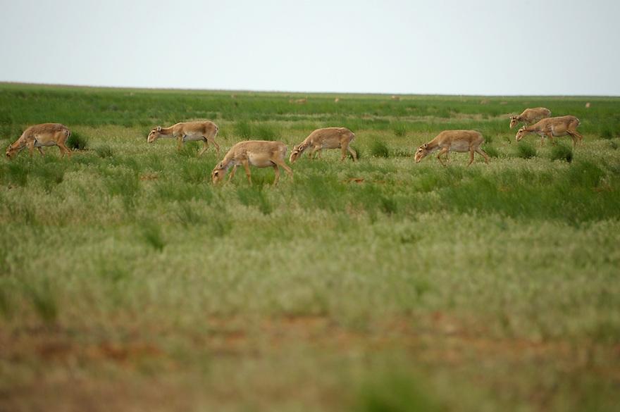 Mission: Saiga.Saiga herd (Saiga tatarica) in the steppe in Cherniye Zemly (Black Earth) Nature Reserve, Kalmykia, Russia, May 2009.Saiga tatarica