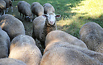 One curious sheep in the flock in a pasture in New Hampshire USA
