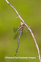 06364-001.05 Springtime Darner (Basiaeschna janata) male, Clay Co,  IL