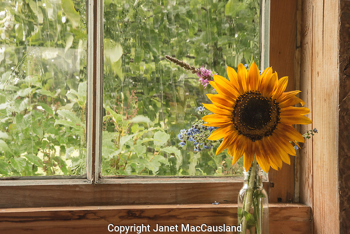 A sunflower in a window brings a bit of warmth to a rainy day in Vermont.
