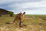 Eastern Grey Kangaroo (Macropus giganteus) at the coast, Pebbly Beach, Murramarang National Park, New South Wales, Australia