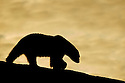 Polar bear sillouhetted against the midnight sun in Smeerenburgfjorden, Spitsbergen, Svalbard.
