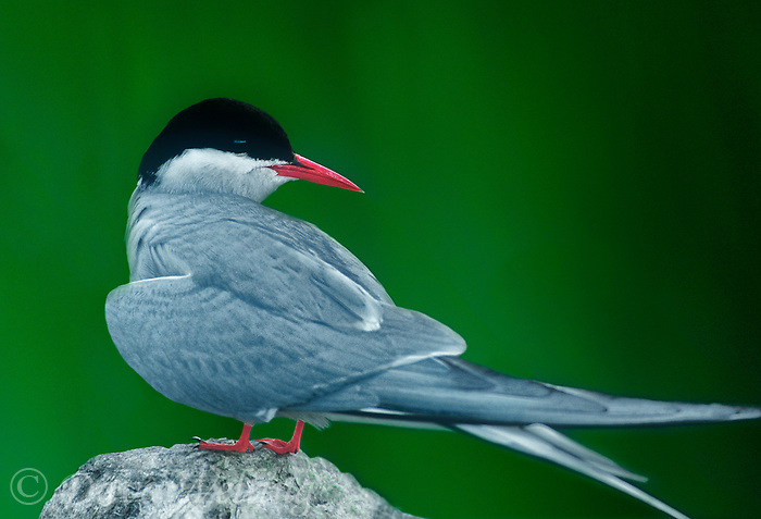 581600337 a wild arctic tern sterna paradisaca stand on a large rock in potters marsh near anchorage alaska