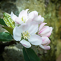 Blossom of Apple 'French Crab', early May. A French culinary apple imported to England in the late 18th century. Synonyms include: 'Hogg's Winter Greening', 'Ironsides', and 'Two Years Apple'.