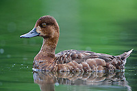 Lesser Scaup hen swimming on a pond