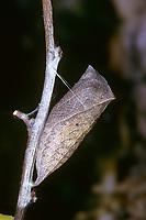 Segelfalter, Segel-Falter, Puppe, Gürtelpuppe, Iphiclides podalirius, Scarce Swallowtail, Sail Swallowtail, Pear-tree Swallowtail, pupa, pupae, Le Flambé