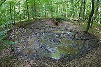 Wildschwein Suhle, Schwarzwild, Sus scrofa, wild boar, wallow, pig