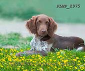 Marek, ANIMALS, REALISTISCHE TIERE, ANIMALES REALISTICOS, dogs, photos+++++,PLMP2975,#a#, EVERYDAY