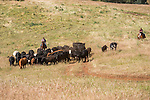 Gathering cattle on the historic Chin Ranch, Amador County, Calif., and overlooking the Mokelumne River Canyon and Calaveras County.